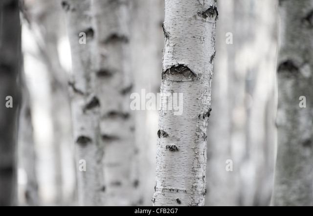 silver birch trees - Stock Image
