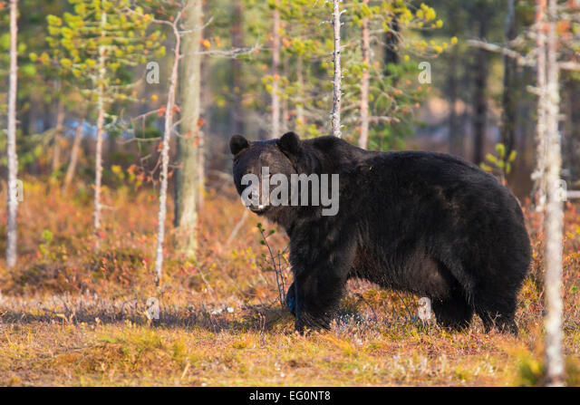 Big brown bear, Ursus arctos, standing and looking around, autumn colors on the ground, Kuhmo, Finland - Stock Image