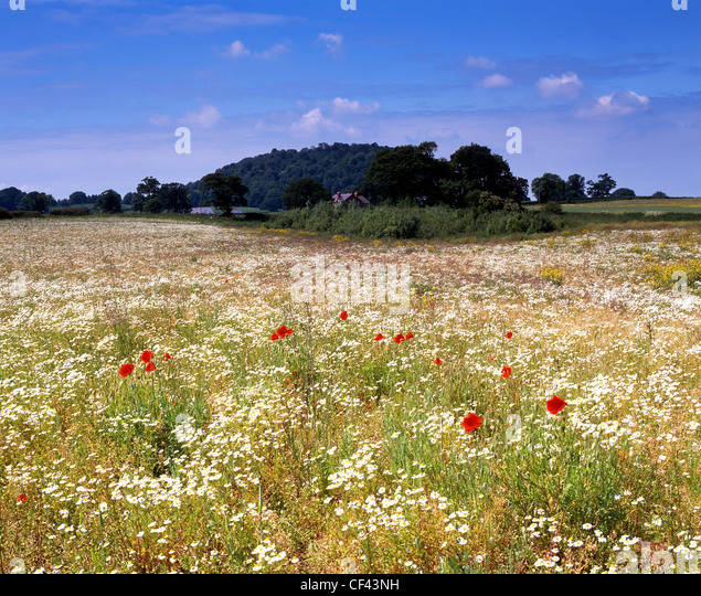 View over wild Poppies growing in a meadow towards the Peckforton Hills. - Stock-Bilder