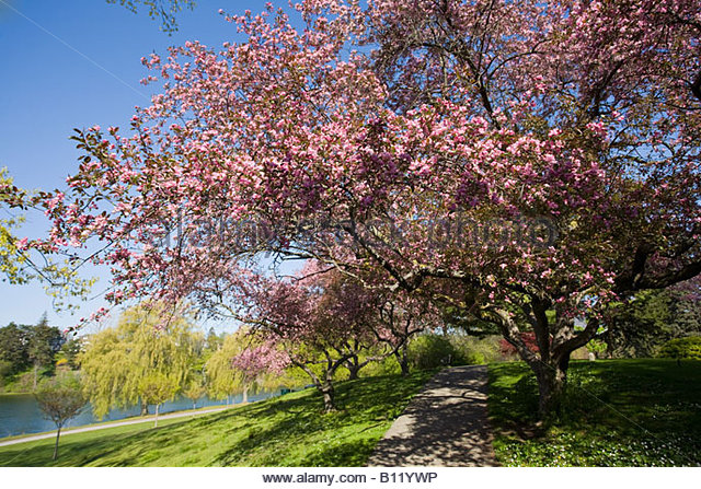 Spring blossoms on tree in High Park in Toronto Ontario Canada - Stock Image