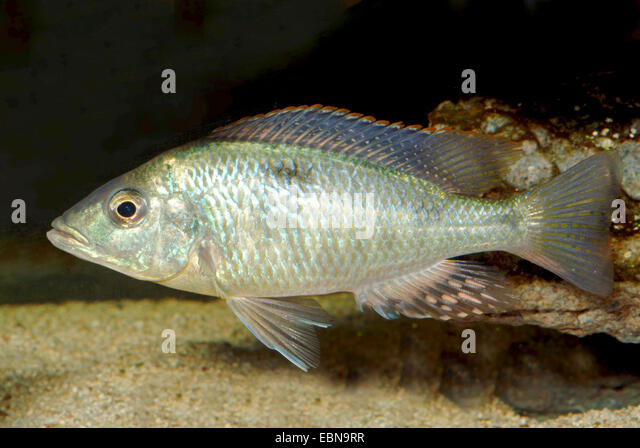 Oxyrhynchus Stock Photos Oxyrhynchus Stock Images Alamy