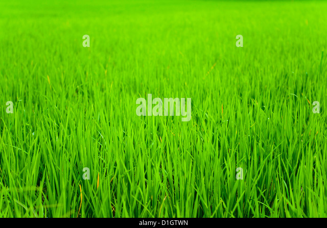 Rice paddy field close up in Ubud, Bali, Indonesia, Southeast Asia, Asia - Stock Image