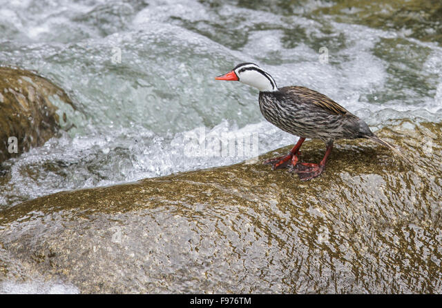 Torrent Duck (Merganetta armata) swimming in a river in  Peru. - Stock Image