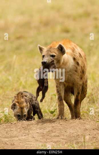Spotted Hyena carrying young, Masai Mara Game Reserve, Kenya, Africa (Crocuta crocuta) - Stock-Bilder