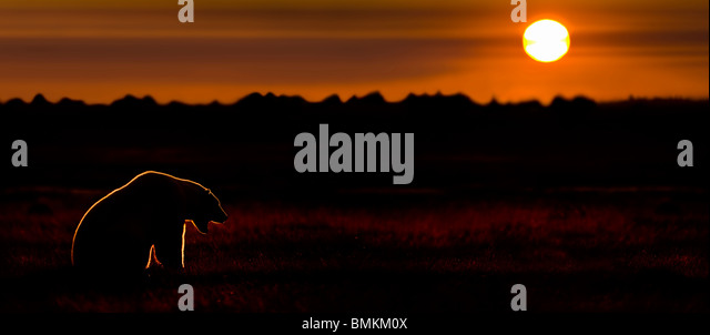 Adult Polar Bear at sunset. On tundra vegetation on shores of Hudson Bay, Canada (late Sept). - Stock Image