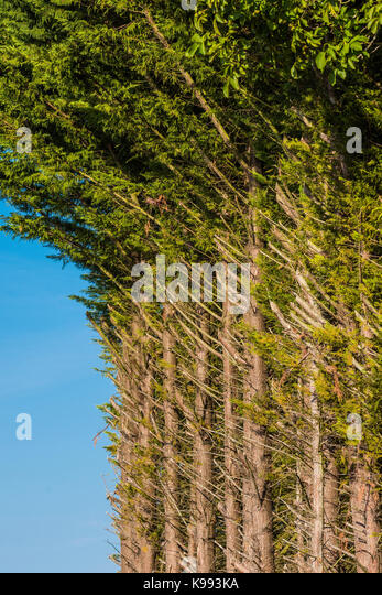 Line of evergreen trees with branches cut down. - Stock Image