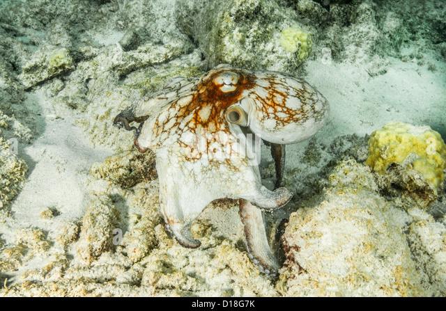 Octopus swimming at underwater reef - Stock Image