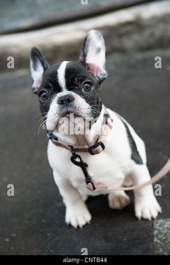 Boston terrier - Stock Image