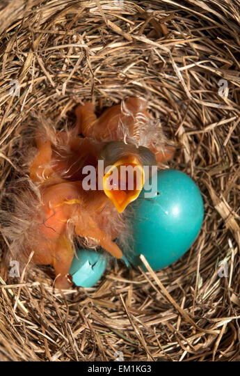 Baby bird mouth open - Stock Image