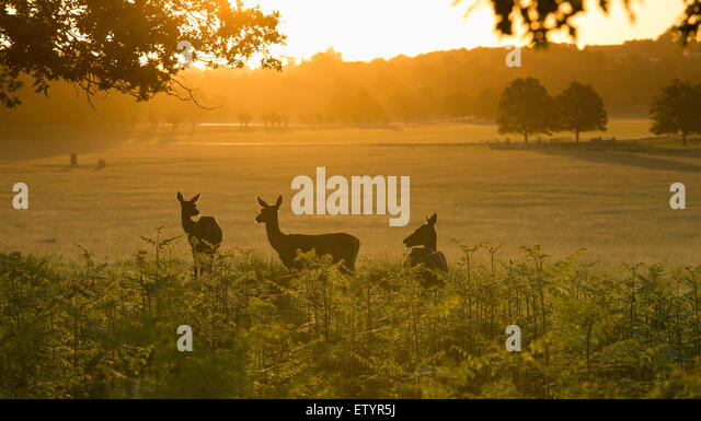Three deer in the morning sun, Richmond park. - Stock-Bilder