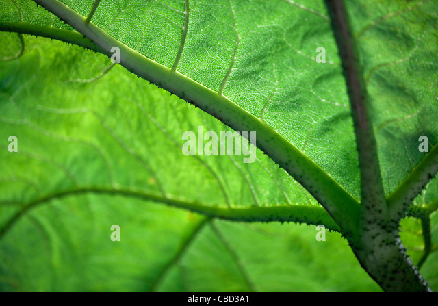 Close-up of a Gunnera leaf - Stock Image