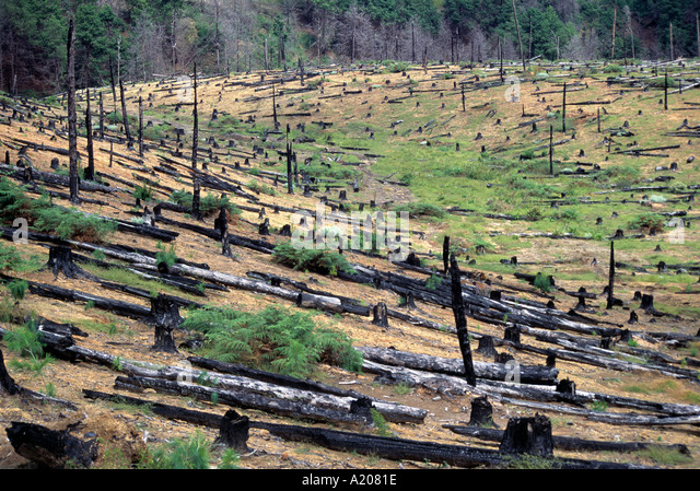 Deforestation of cedar plantation at Mt Mulanje - Stock Image