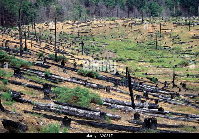 Deforestation of cedar plantation at Mt Mulanje - Stock Image