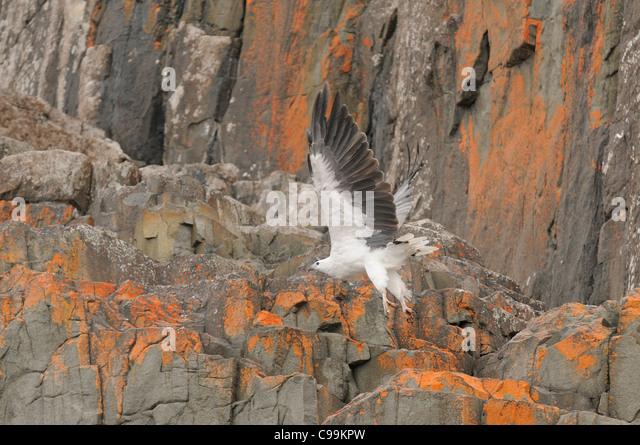 White-bellied Sea-Eagle Haliaeetus leucogaster Photographed in Tasmania, Australia - Stock-Bilder