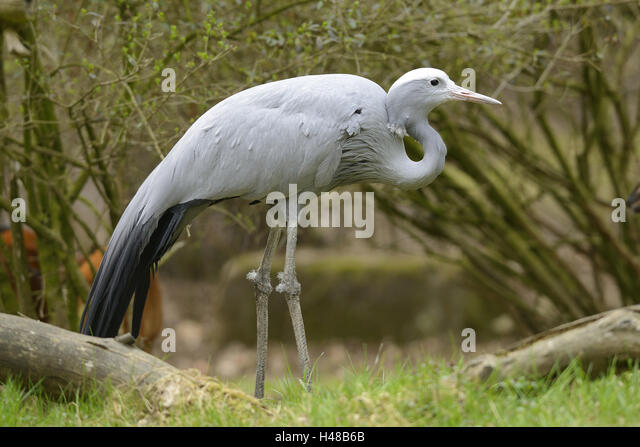 Paradise crane, anthropoid paradisea, at the side, stand, - Stock-Bilder