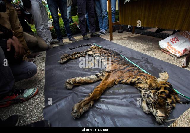 Medan, North Sumatra, Indonesia. 17th Oct, 2016. Sumatran tiger skin confiscated (Phantera tigris sumatrae) is shown - Stock Image
