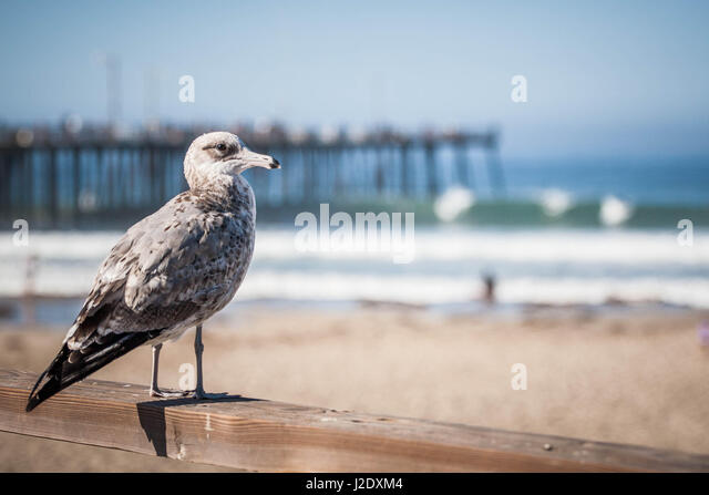 Seagull_0366   - Stock Image