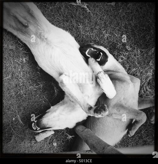 Two dogs mucking around playing with each other on the ground - Stock Image