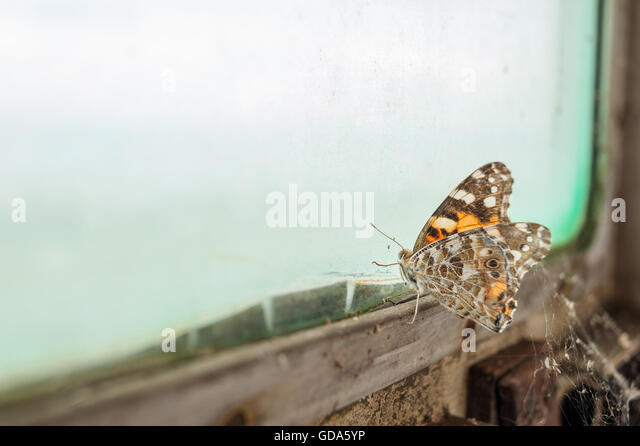 Butterfly trapped by old, dirty window - Stock Image