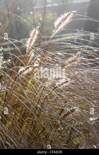 Grasses ornamental stock photos grasses ornamental stock for Ornamental grasses for sun