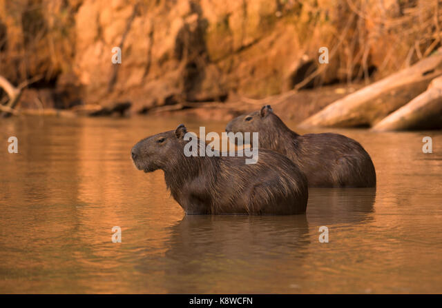 Two capybaras from North Pantanal, Brazil - Stock Image