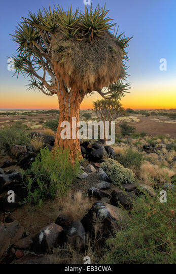 Namibia, Keetmaanshoop, Sociable weaver bird nest on Quiver Tree - Stock Image