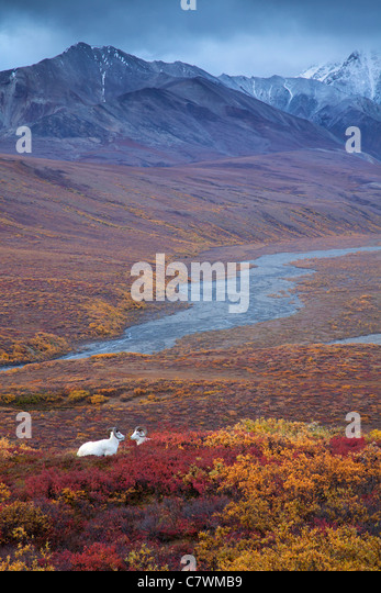 Dall's sheep in Polychrome Pass, Denali National Park, Alaska. - Stock Image