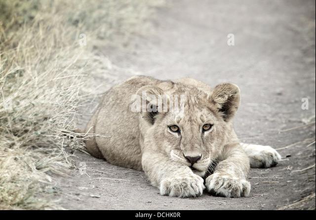 Young lion cub.Panthera leo Serengeti National Park . Tanzania - Stock-Bilder