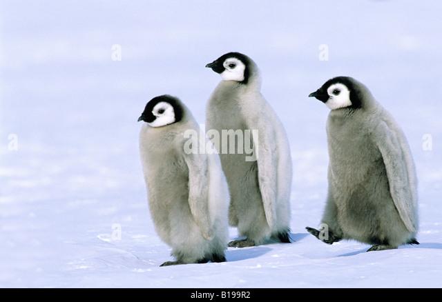 Emperor penguin chicks (Aptenodytes forsteri), Riiser Larsen Colony, 72 Degrees S., Weddell sea, Antarctica. - Stock Image
