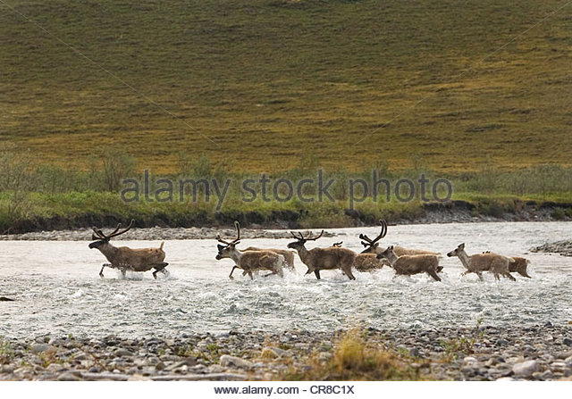 Porcupine caribou herd - Stock Image