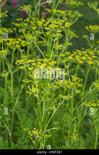 Echter Pastinak, Pastinake, Hammelsmöhre, Pastinaca sativa, parsnip - Stock Image