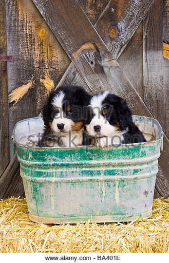 Bernese Mountain Dog Puppies Scotland