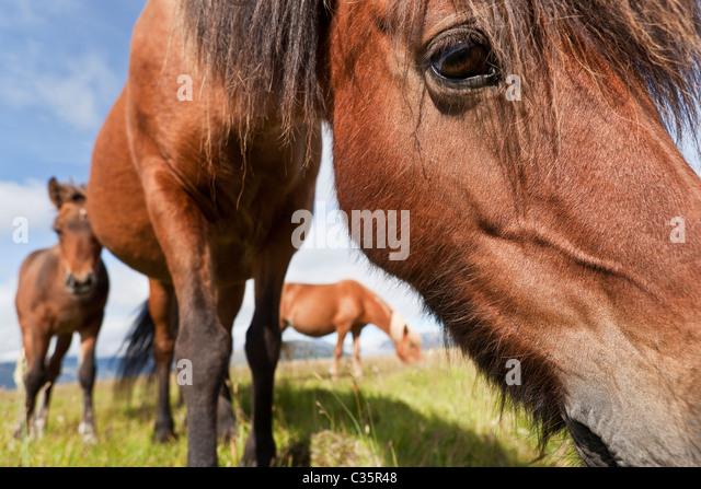 Icelandic Horses, Iceland - Stock-Bilder