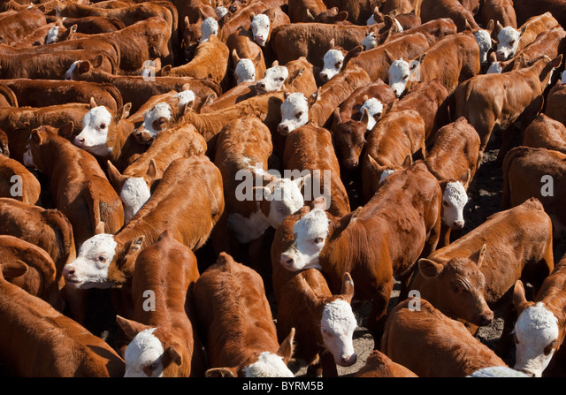 Hereford/Red Angus-Hereford cross beef calves in pen during the roundup awaiting branding, castration and vaccination - Stock Image