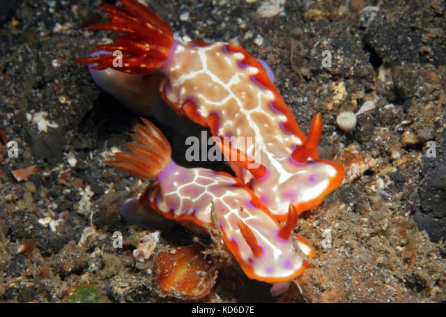 Hypselodoris Iacula Couple. Lembeh Strait, Indonesia - Stock Image