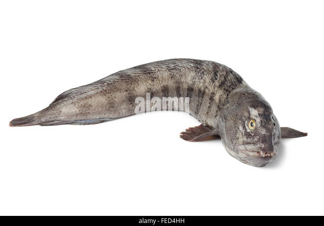 Eel cut out stock photos eel cut out stock images alamy for Freshwater wolf fish
