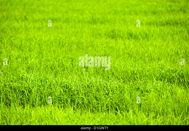 Rice paddy fields near Chiang Rai, Thailand, Southeast Asia, Asia - Stock Image