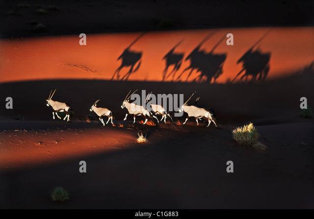 Gemsbok (Oryx gazella) In typical desert habitat. Dist. South-Western & Northern East Africa. Naukluft National - Stock-Bilder