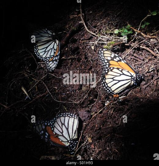 A Monarch Butterfly wing in Cerro Pelon Sanctuary in Capulin village, Mexico State, Mexico - Stock Image