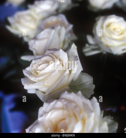 White roses. - Stock-Bilder