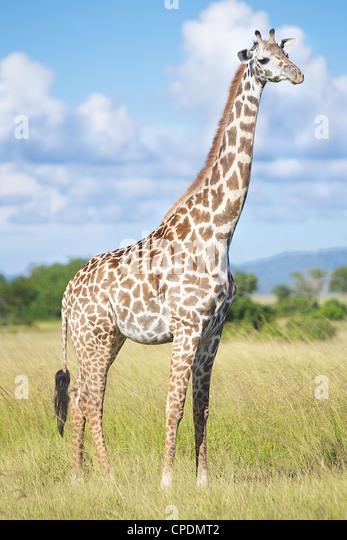 Giraffe Giraffa camelopardalis in Mikumi Game reserve . Southern Tanzania. Africa - Stock Image