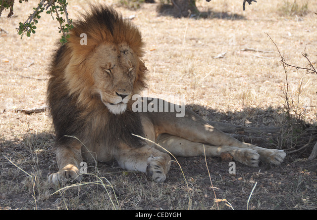 Resting lion. - Stock Image