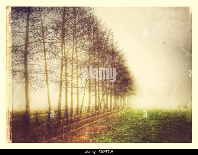 Birch Trees in a Misty Dawn - Stock Image