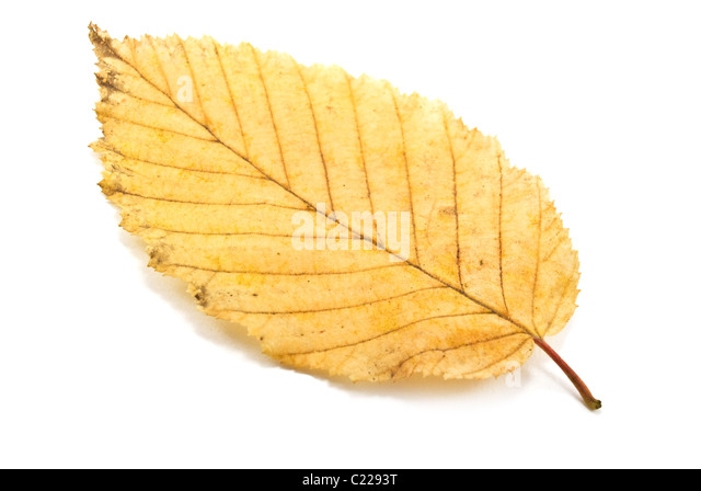 Leaf sheet is isolated on a white background - Stock-Bilder