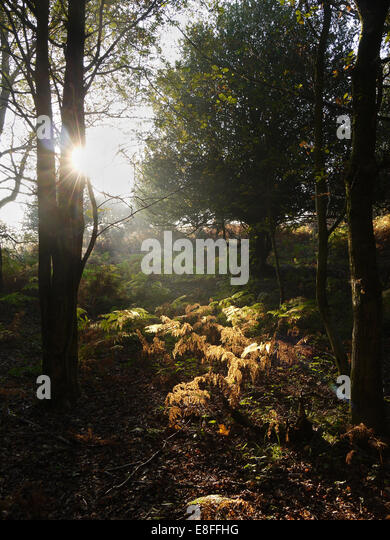 Sunlight through the trees in forest, New Forest, Hampshire, England, UK - Stock Image