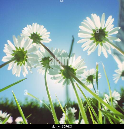 Daisy flowers growing - Stock Image