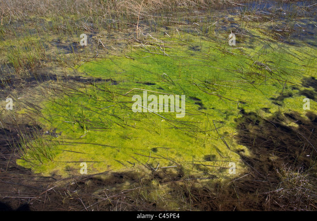 Small Freshwater lagoon with Blue Green algae near Lake Huron Michigan USA - Stock Image