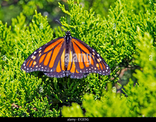 Monarch Butterfly on Tree - Stock Image