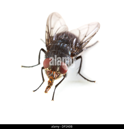 Bluebottle fly - Stock Image
