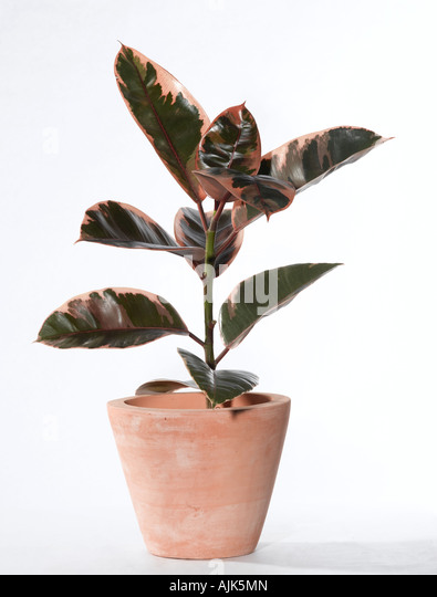 rubber fig ficus elastica stock image